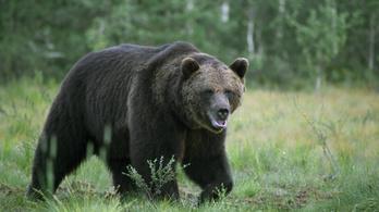 Videó: laza, törvénytisztelő állampolgár módjára kelt át a zebrán a hatalmas romániai medve