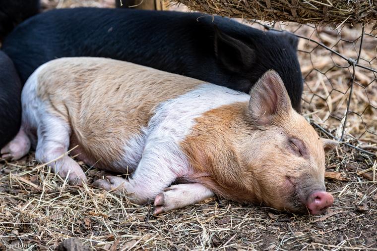 Mivel a hőmérséklet az angol higanyszálon is feljebb csúszott, az állatkák tulajdonosainak biztosítani kellett egy hűtési technikát.