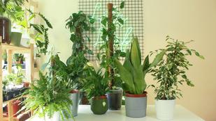 Szobanövények árnyékos helyre: ezt a 4 fajt ajánlja a szakértő