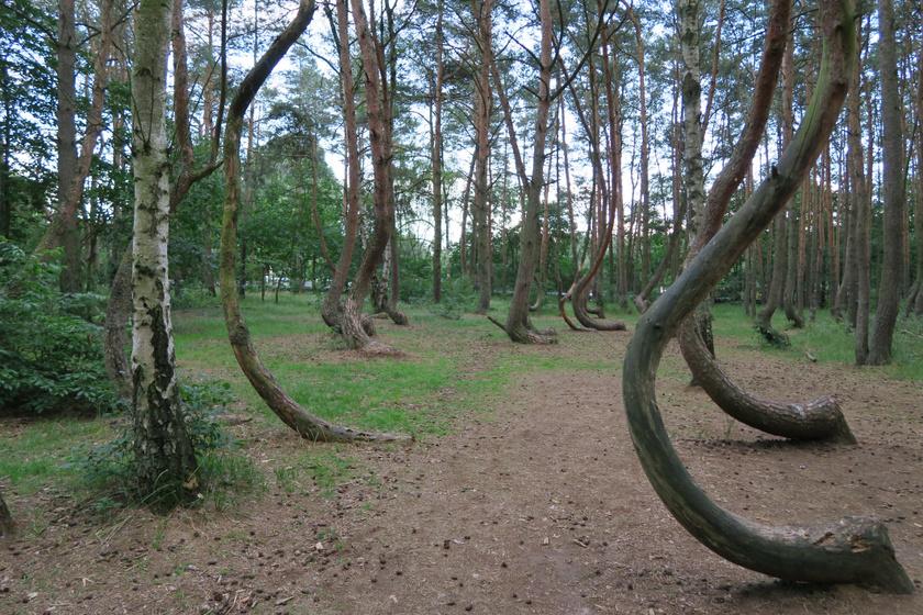 Az erdőbe még 1930-ban megközelítően 100-400 fenyőfát telepítettek, aminek a törzse szokatlan alakot vett fel. Nem sokkal utána Gryfino városa szinte teljesen elpusztult, csak 1970-re kezdett újra benépesedni.