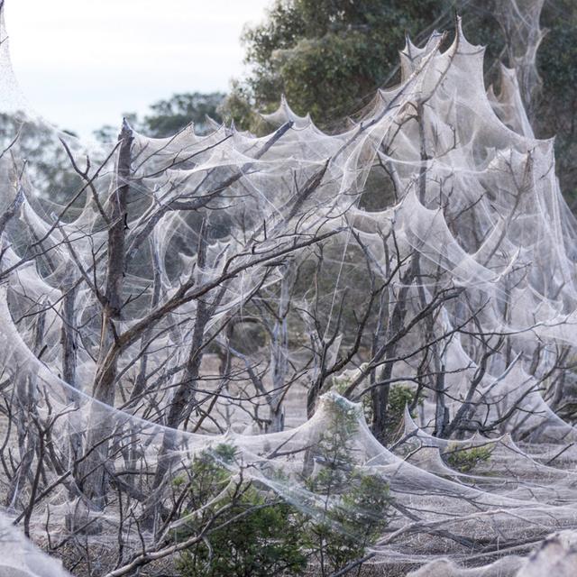 Elképesztő és hátborzongató, amit a pókok létrehoztak Ausztráliában: egész parkokat beborítottak