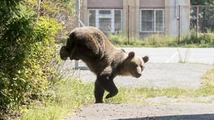 Darabokat tépett ki a medve egy férfi testéből Romániában