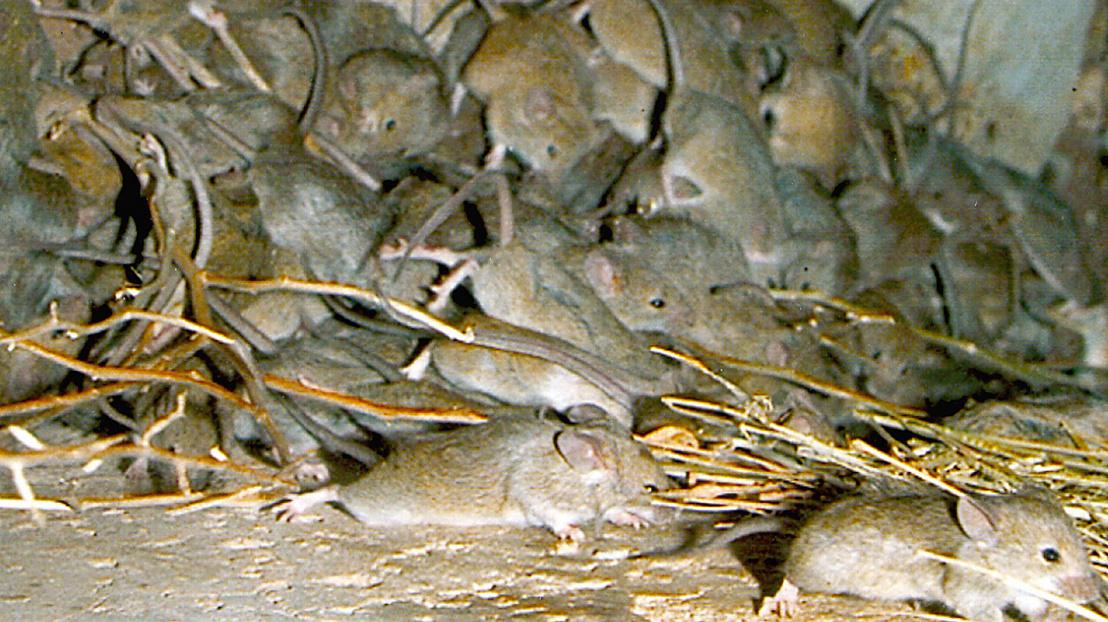 CSIRO ScienceImage 3790 Mouse plague