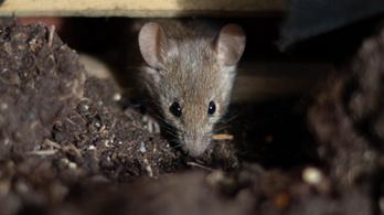 Kannibál egerek terrorizálják az embereket
