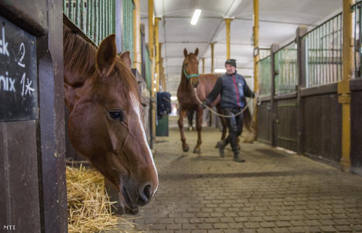 Lovak az istállóban, a mezőhegyesi Nemzeti Ménesbirtok és Tangazdaság Zrt.-ben 2018. január 12-én