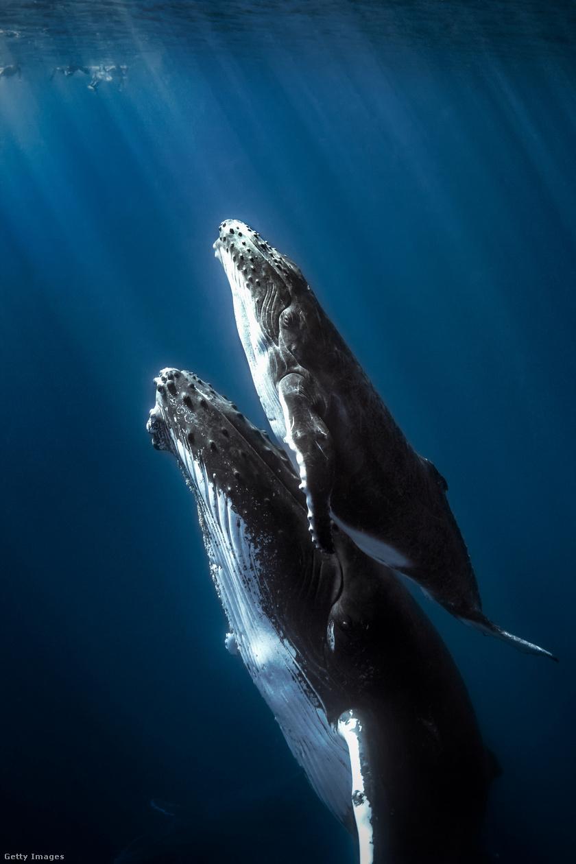 A déli féltekén élő hosszúszárnyú bálnák, vagy púpos bálnák, Megaptera novaeangliae, nagyjából 5-8 hónapig szinte semmit nem esznek, csak és kizárólag a zsírtartalékaikból élnek. Cserébe, amikor megkezdik éves vándorlásukat az Antarktisz környékére, ott tonnaszámra fogyasztják az aprócska krilleket.