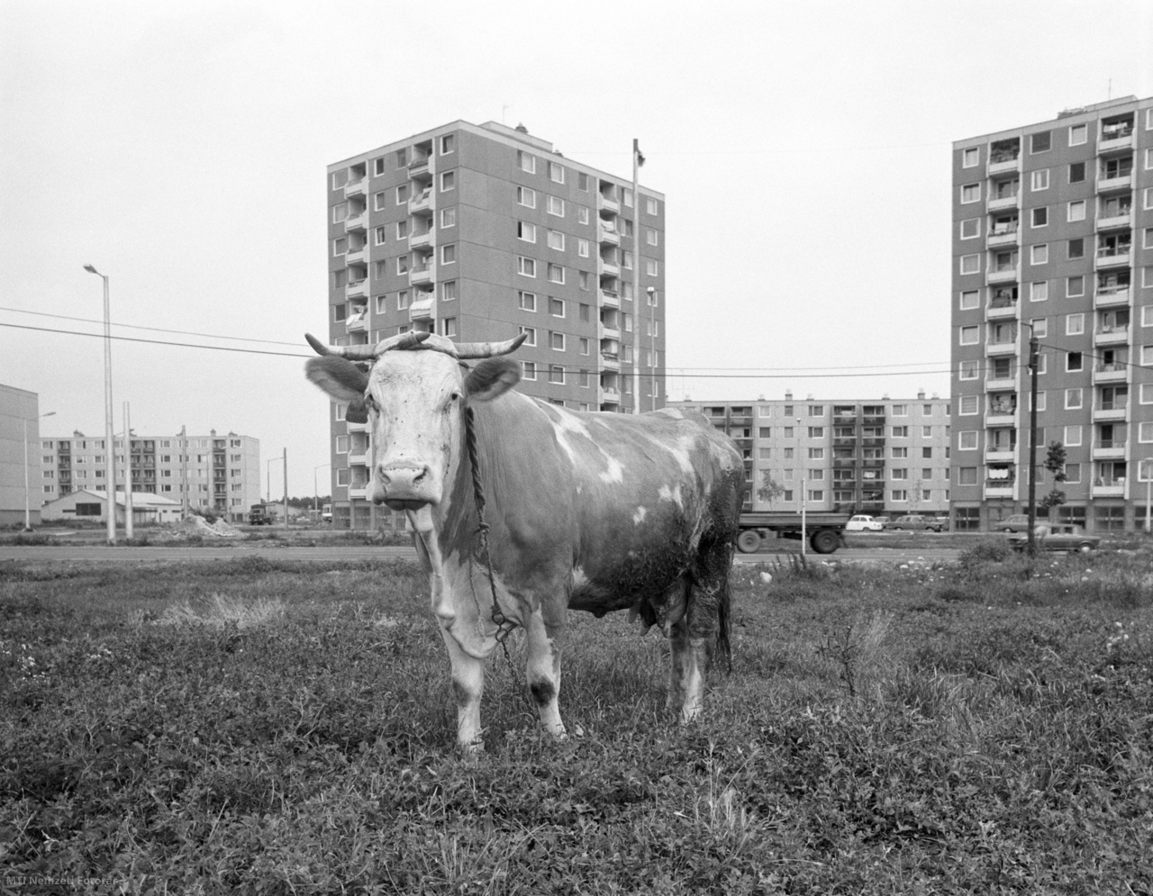 1986. július 7. Lakótelep a legelőn, vagy fordítva?  Szeged új városrészében, Rókuson valóban összeépült a város a mezőgazdasági területtel. A tízemeletes házak tövében tehenek legelnek