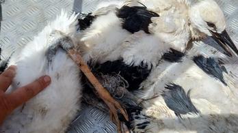 Elképesztő gólyamentés a Kiskunságban
