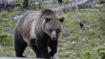Egyre több a medve a hegyekben