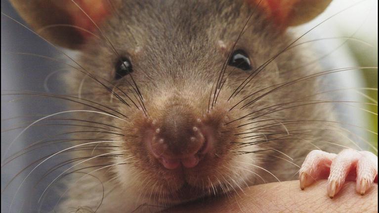 Elkészült Magyarország patkányatlasza