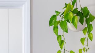 2 függő szobanövény, amit nyaralás alatt is magára hagyhatsz