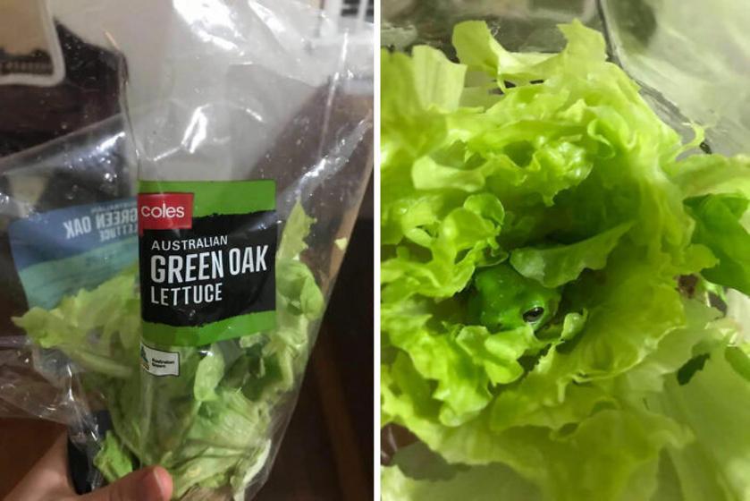 Zöld tölgylevélsaláta - áll a csomagoláson. A meglepetésbékáról azonban egyetlen sort sem írnak.