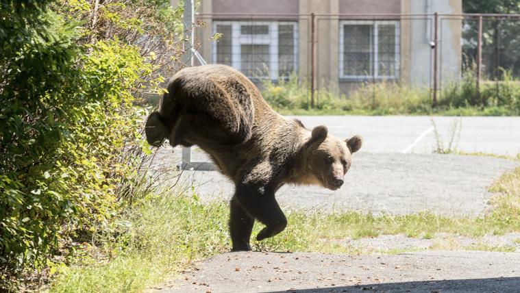 Nem a légkondis irodából érezhető át, milyen, amikor támad a medve