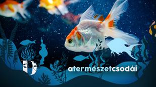 Igaz, hogy az aranyhalnak csak 3 másodperces a memóriája?