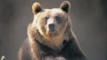 Medvét gázoltak el Székelyföldön