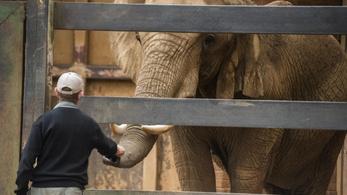 Kenyába költöztetnek egy elefántcsordát Angliából