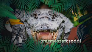 A krokodilok 200 millió éve ugyanolyanok – hogyan lehetséges ez?