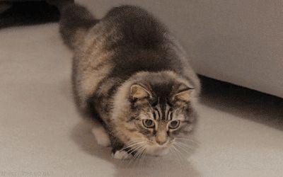 cat bum wiggle.gif