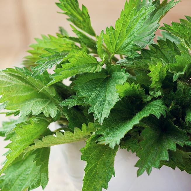 Szörp és főzelék is készülhet az egészséges csalánból: kirándulás alatt is gyűjthető a gyógynövény