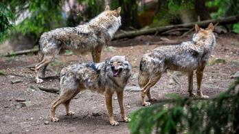 Farkasok terrorizálják a juhokat és bárányokat a Mátrában