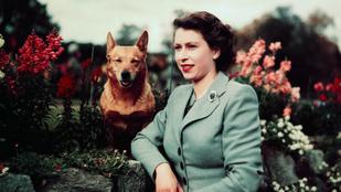 II. Erzsébet corgijai és Harry herceg mentett csirkéi - ők a királyi család kedvencei