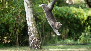 Miért esnek mindig talpra a macskák? Az állatorvos válaszol