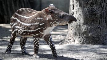 Mától lehet szavazni, mi legyen a neve a budapesti állatkert új cukiságbombájának