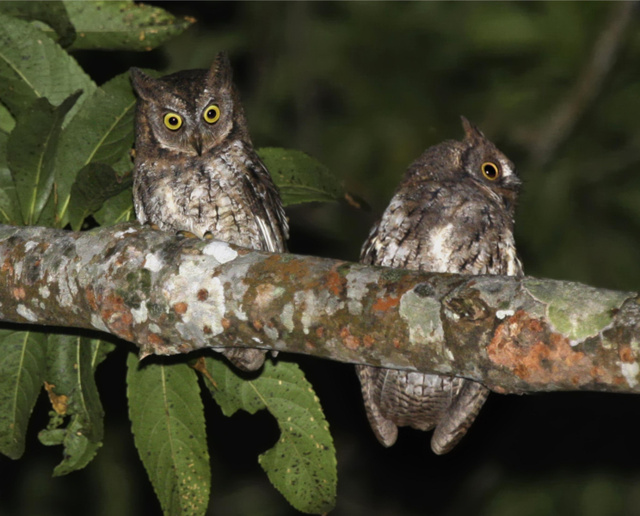 A Rinjani-füleskuvik két példánya
