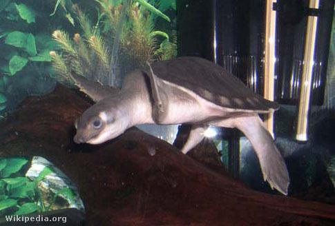 Kétkarmú teknős