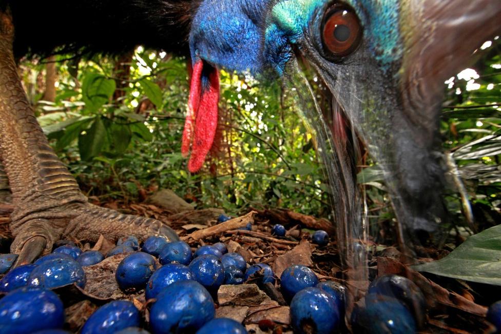 Természet - Első hely A veszélyeztetett kazuár kék bogyókat eszik az ausztrál esőerdőben.