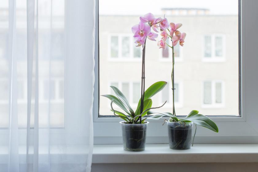 Az orchidea (Phalaenopsis) nemcsak amiatt jó választás a lakásba, mert gyönyörűen mutat minden helyiségben, hanem a macskák szempontjából is kedvező, hiszen nem okoz számukra semmilyen kellemetlenséget, ha esetleg megrágcsálják a leveleit vagy virágát.