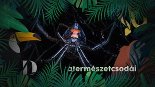 Ezek a pókok a náluk több százszor nagyobb kígyókat is elejtik