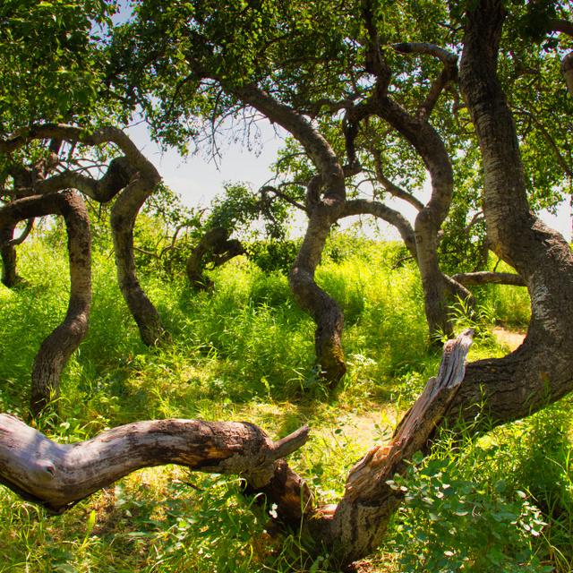 A furcsa fák, amik nem felfelé nőnek: Kanada különös erdejében mutáns nyírek burjánzanak