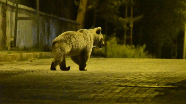 Elaltattak Szlovákiában egy medvét, mert már nem félt az emberektől