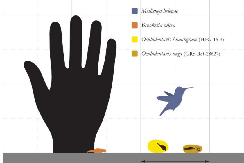 Az ábra jól mutatja, mekkorák a leletek egy kolibrihoz és egy emberi tenyérhez mérten.