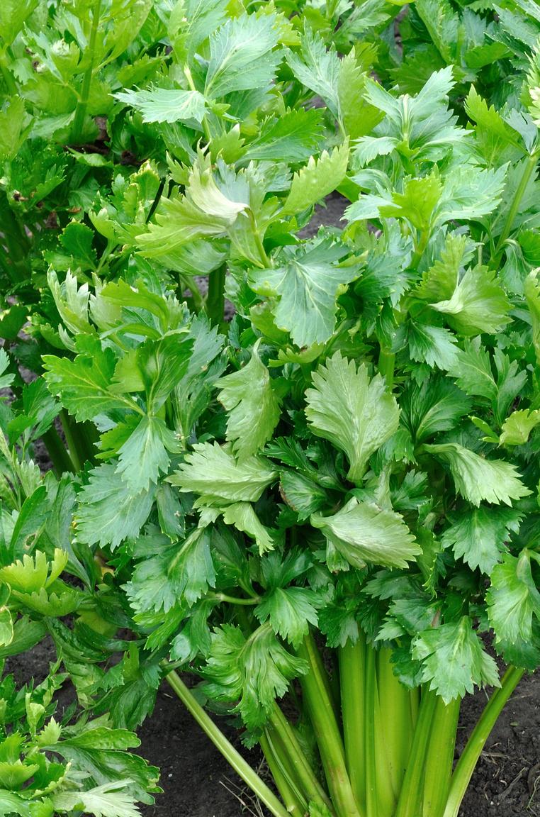 Milyen növény levele van a képen?