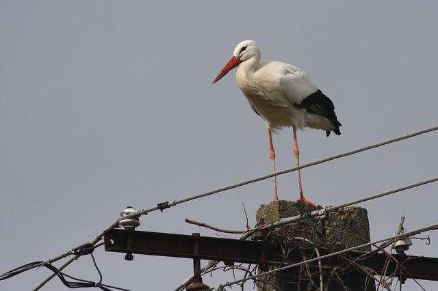 Fehér gólya (Ciconia ciconia) áll egy villanyoszlopon a Veszprém megyei Tüskeváron 2010. februárjában.