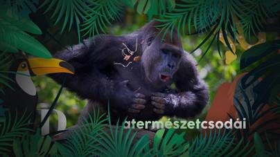 Ezért verik a gorillák a mellkasukat