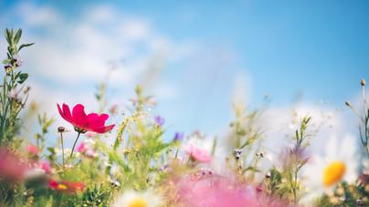 Így csempéssz réti hangulatot a kertbe: vadvirágok a kertész ajánlásával