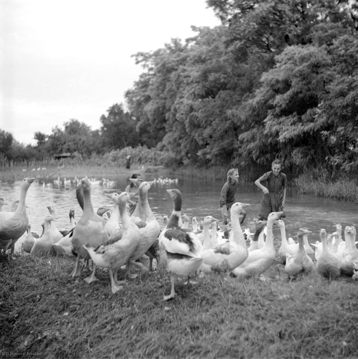 Darnózseli 1954. július 27. Kislányok libákat úsztatnak az árvíz elvonultával még víz alatt álló falu végén.