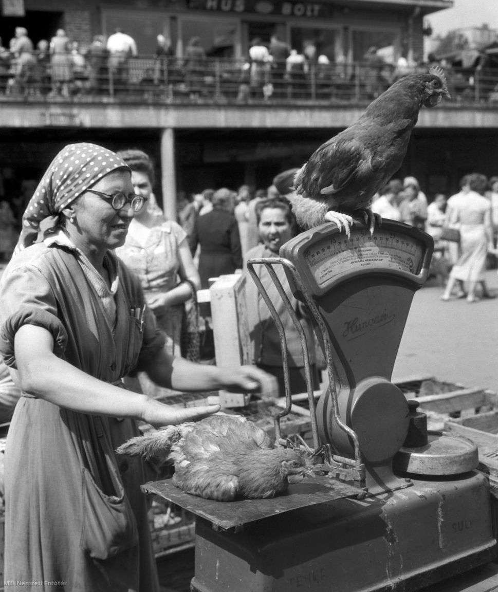 A budapesti 55-ös földműves szövetkezet elárusítója egy élő csirkét mér a mérlegen a Fény utcai piacon 1958. július 3-án.