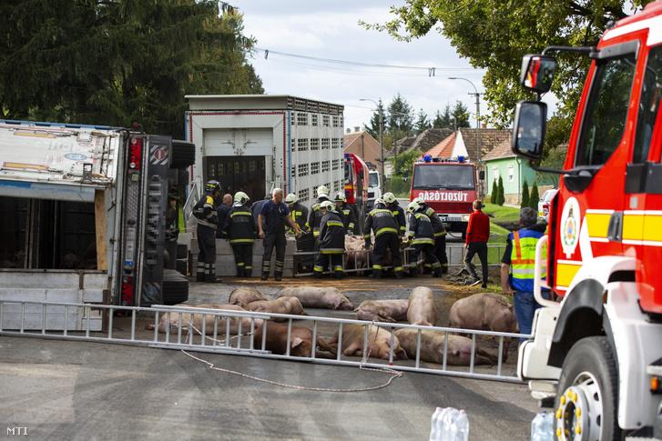 A somogyi tűzoltók sokoldalúsága nem újkeletű. 2020 októberében Böhönyén egy felborult, sertéseket szállító kamion mentésben jeleskedtek. Sajnos az állatok egy része elpusztult vagy megsérült.