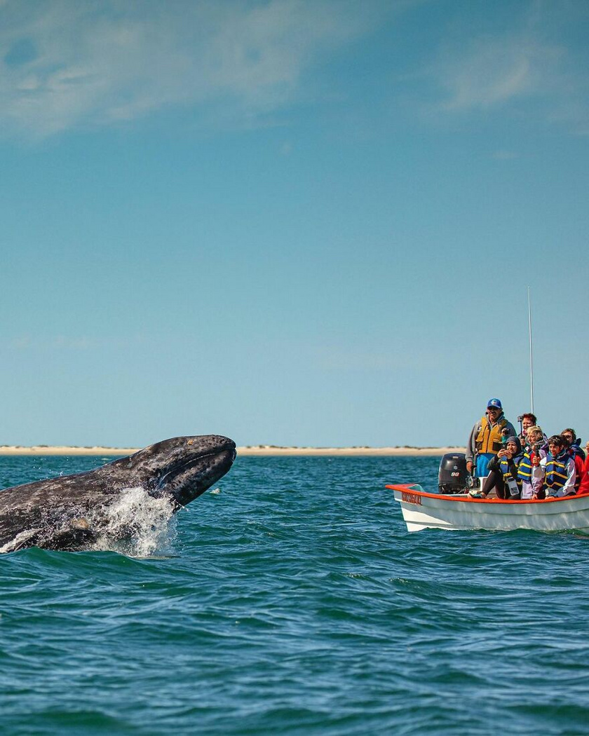 Két szürke bálna szokott portyázni Campo Cortez közelében, egy anyabálna a borjával. 2020. márciusában a kicsi gondolt egyet, és az éppen arra kiránduló csónakázók előtt kiugrott a vízből.