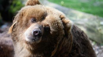 Elfogadták a rendeletet, kilőhetik a veszélyes medvéket Romániában