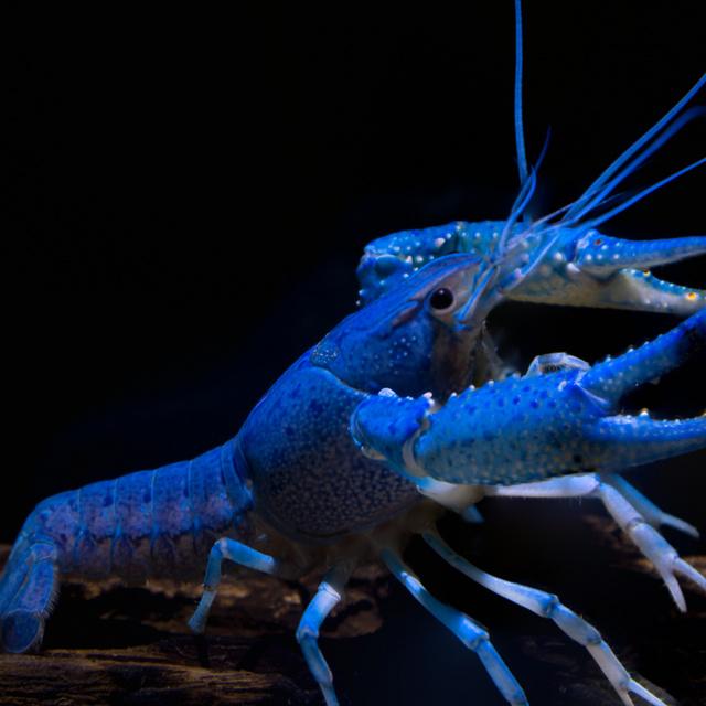 A bolygó legfurcsább színű állatai: 2 millió homárból csak egy lesz ilyen lehetetlenül kék