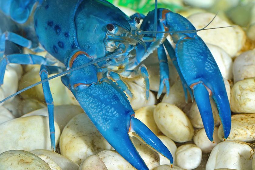 Íme, egy lehetetlenül kék homár.