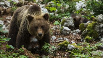 Szigorúbban büntetnék a medvék etetését Romániában