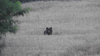 Medvét láttak Isaszegen
