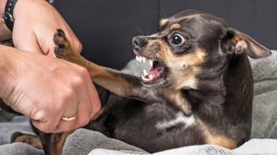 Mitől olyan harciasak a kisebb termetű kutyák?