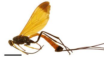 Új parazitoid darázsfajt fedeztek fel